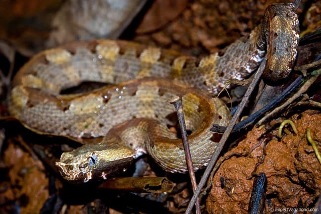 Hognosed Pit Viper in Piedras Blancas National Park