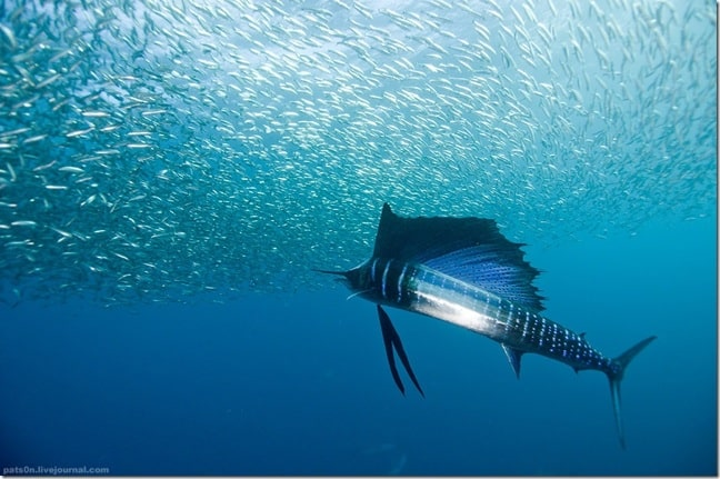 Sailfish, by pats0n via Creative Commons