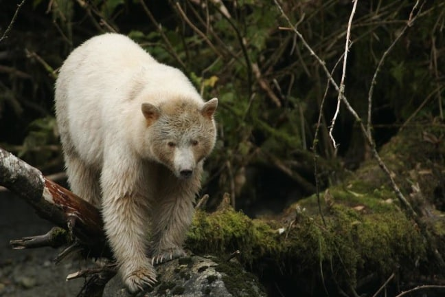 Spirit Bear in British Columbia's Great Bear Rainforest
