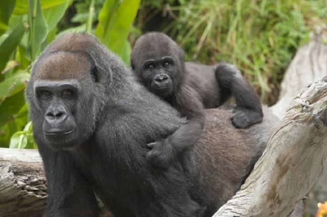 Western Lowland Gorilla Baby & Mama
