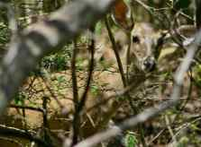 white-tail_Curaçao_deer