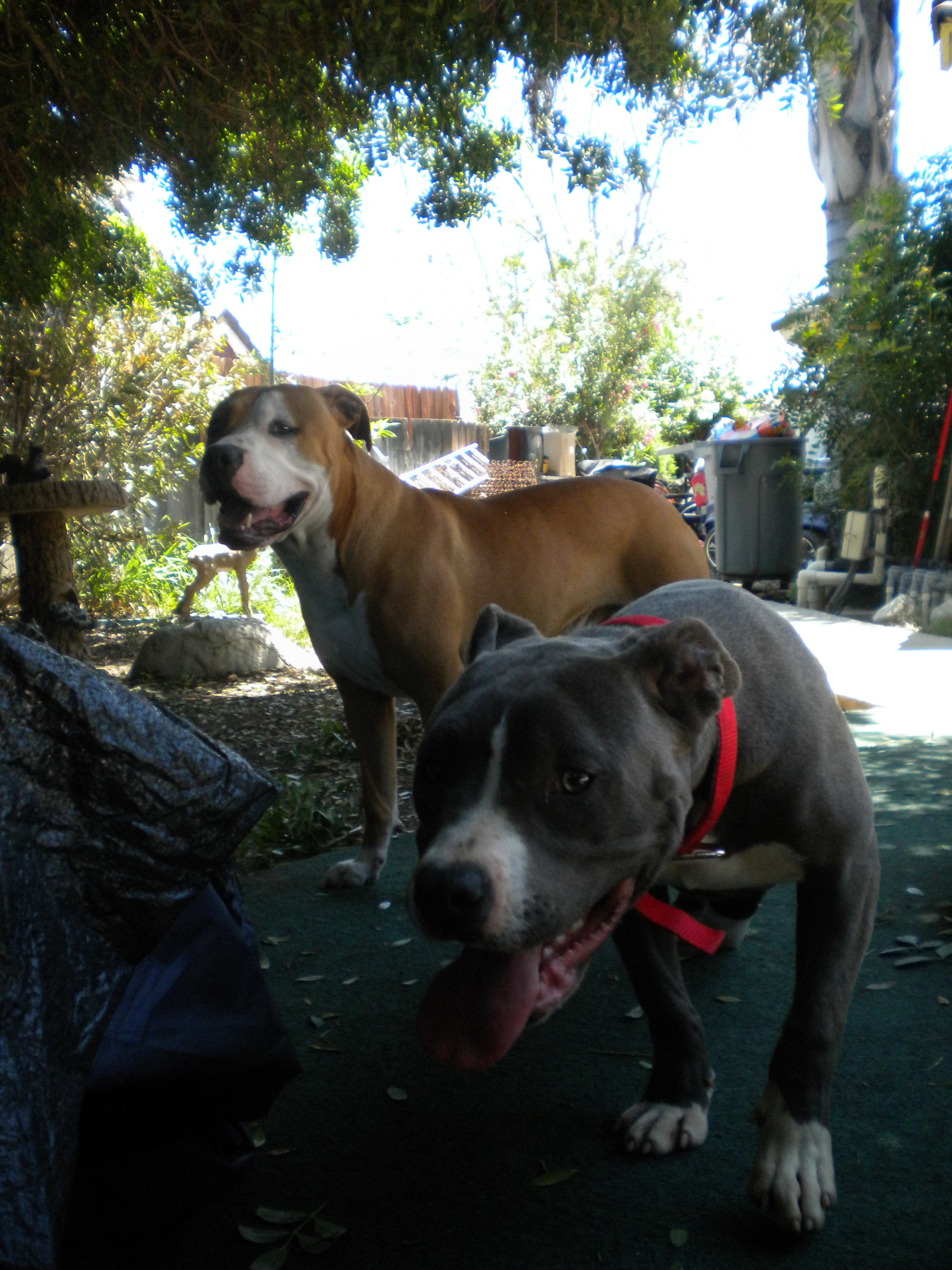 Splendiferous On Pitbulls How Long Do Pit Bulls Live Dog Years How Long Do Pit Bulls Live Meme So As You May Already I Have A Year Pitbull Puppy Named Raised Him Since He Was He Goes Everywhere bark post How Long Do Pitbulls Live