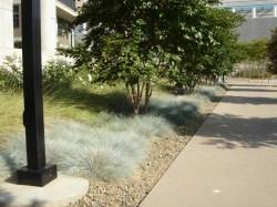 Extraordinary Blue Oat Grass Blue Oat Grass Green Meadow Growers Blue Oat Grass Images Blue Oat Grass Width