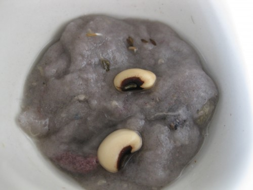 Seeds Sprouting in Microwaved Water