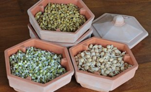 Homemade Lentil, Mung Bean and Chickpea Sprouts