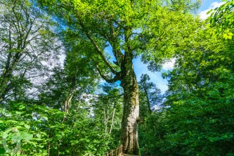 Mather Tree of Beech