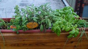 Windowbox with herbs on Volunteer Hamilton rooftop garden