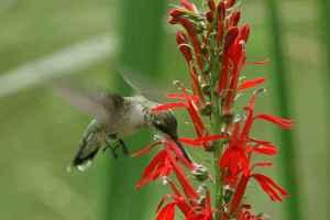 Ruby-Throated Hummingbird on Cardinal Flower