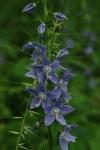 Tall Bell Flower