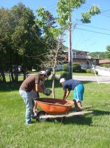 Mulching trees in Veevers Park