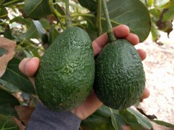Small Of How Long Do Avocados Last