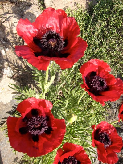Yes, those kind of poppies growing wild on the slopes of Damavand