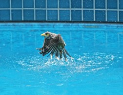 Picture of a Noisy Miner Bird bathing