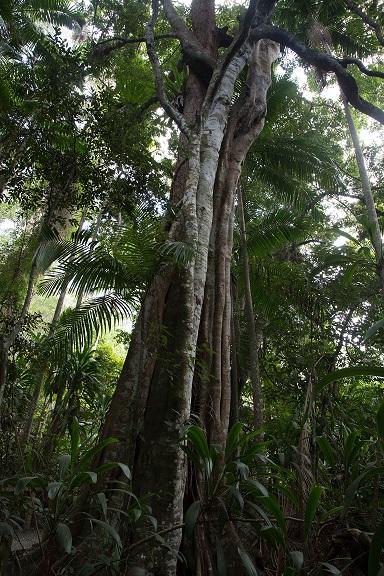 Strangler fig in the rainforest