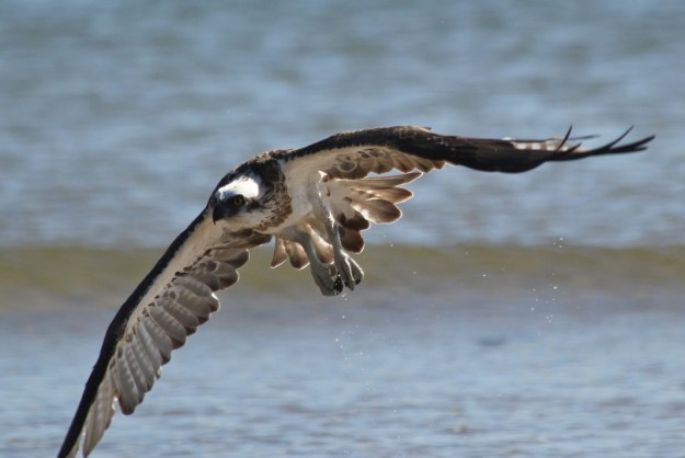 This osprey has just finished its bath in the shallows