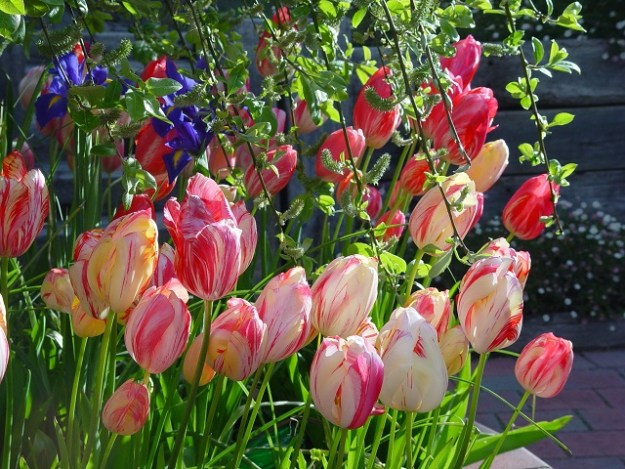 Tulips and Dutch iris under a deciduous tree