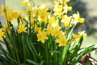 daffodils-716847_960_720
