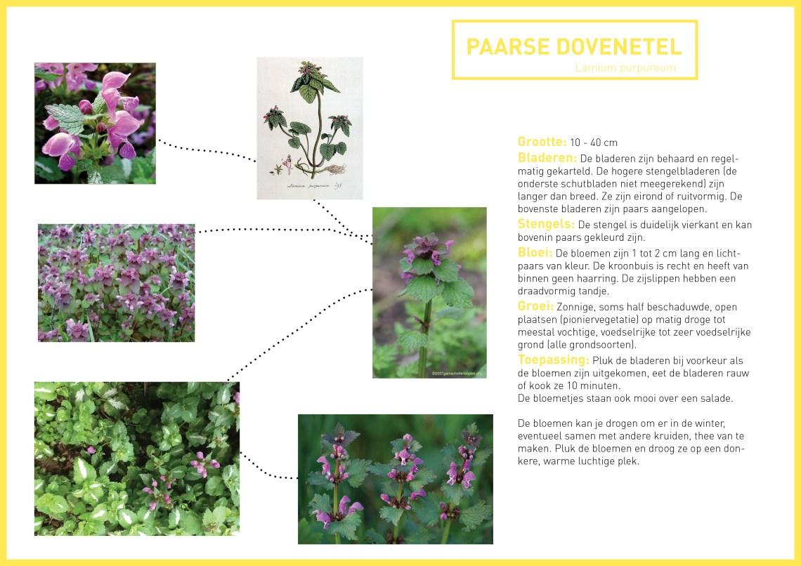 Paarse dovenetel - informatie - groene avonturen