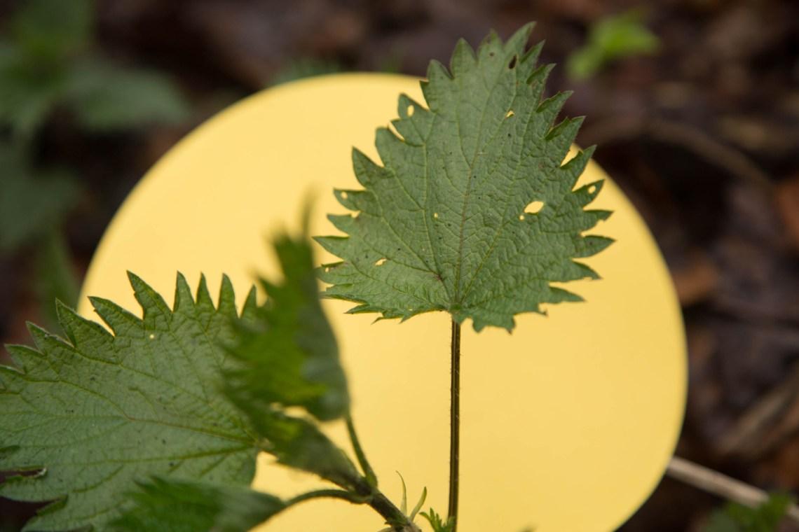 brandnetel - groene avonturen foto