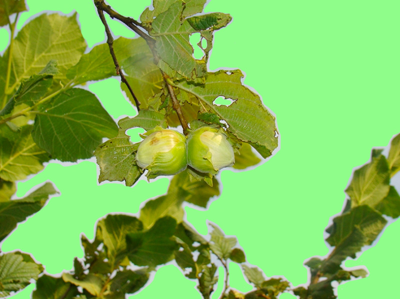 groene-avonturen-wildplukken-hazelaar