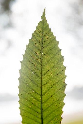 groene-avonturen-wildplukken-tamme-kastanje-3
