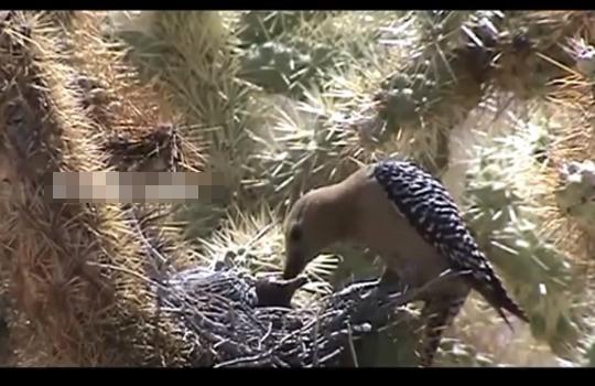 【グロ注意】ゾンビキツツキが見つかる・・・鳥の頭を突ついて脳みそを捕食
