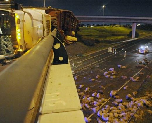 【閲覧注意】オーストラリア・メルボルンの橋から、羊400頭が落下して死亡