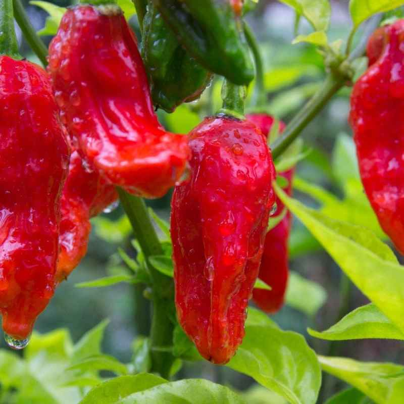 Large Of Pepper X Scoville
