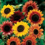 Growing Stunning Sunflowers in the Garden
