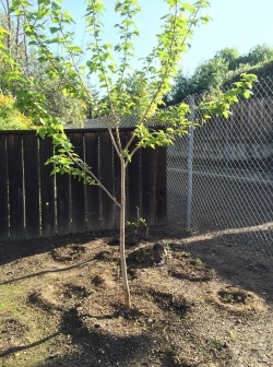 Small Of Dwarf Mulberry Tree