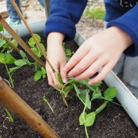 Growing food in kindergartens