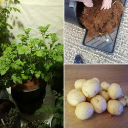 Enamour Coco Results Growing Hydroponic Potatoes Latest News From Grown Up Hydroponics Growing Potatoes S Uk Growing Potatoes S During Winter