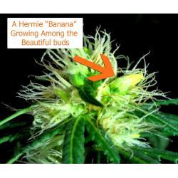 Small Crop Of Plants That Look Like Marijuana