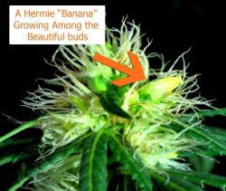 Small Of Plants That Look Like Marijuana