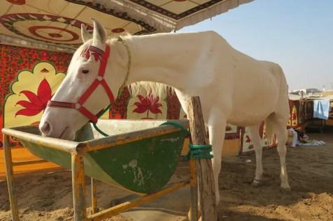 Mawari horse at Pushkar Mela