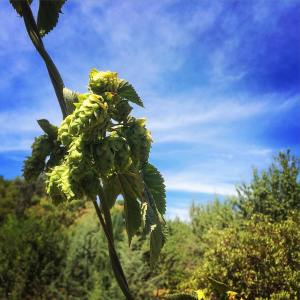 Homegrown Cascade hops on the bine.