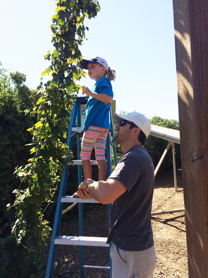 Picking cascade hops.