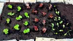 Hochbeet_Salate