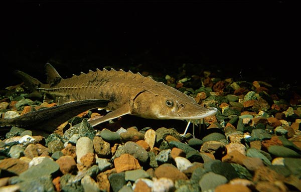 Lake erie sturgeon revival guardian liberty voice for Lake erie fish species