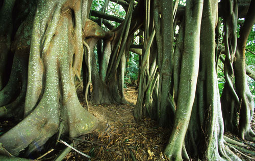 Banyan Bushwalk lorde howe islands