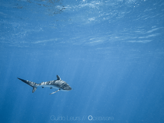 Carcharhinus_falciformis_GuidoLeurs2018_38