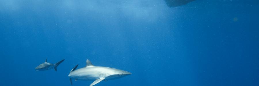 A new shark for the Saba Bank