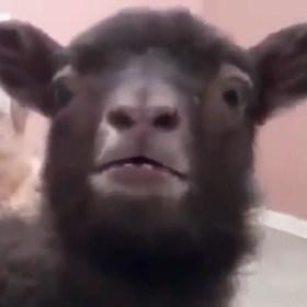 goat-lamb