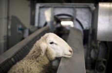 Electronic sheep sacrifice offered at this year's Haj