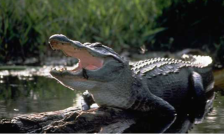 "The Business of Alligator – The Thick-Skinned ""Environmentalists"""