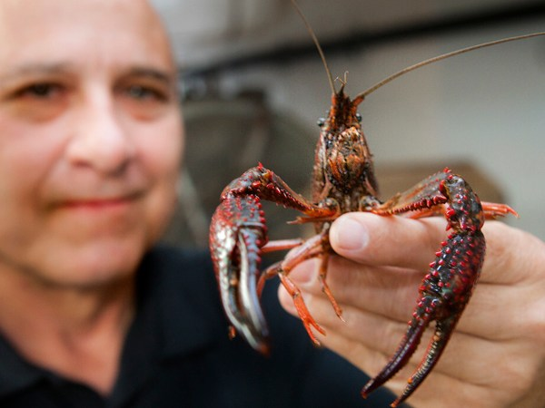 Louisiana Crawfish Season in Deep Freeze