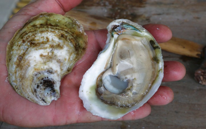 Constructing An Off-Bottom Oyster Business on Grand Isle