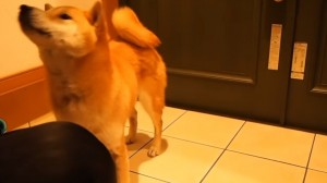 服着る柴犬6