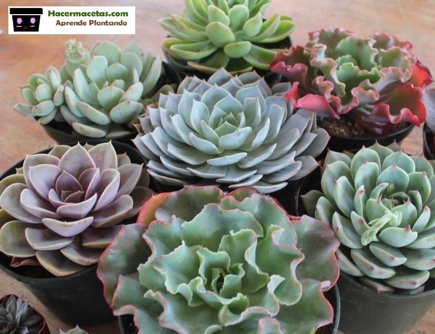Crassulaceae genero Echeverrias