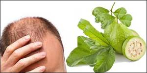 guava-leaves-baldness-cure